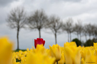tulpenroute_TH_04634