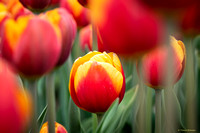 tulpenroute_TH_04641