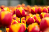 tulpenroute_TH_04643