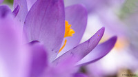 crocus-TH-0729