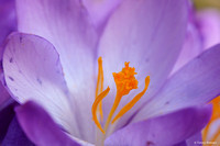 crocus-TH-0728